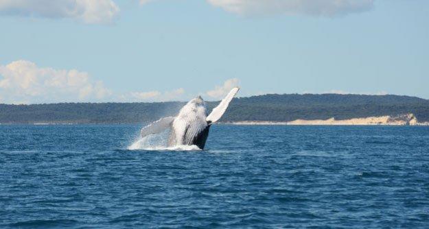 Les baleines de Hervey Bay
