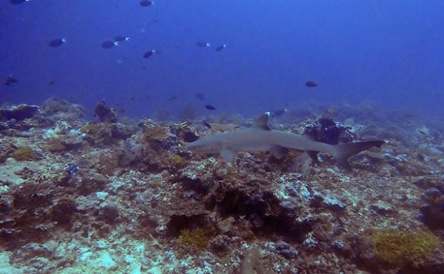Un requin à Sipadan