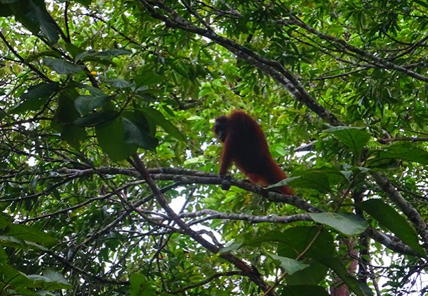 Un orang-outan au Rainforest Discovery Centre