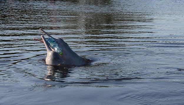 Les dauphins d'eau douce de la Pampa