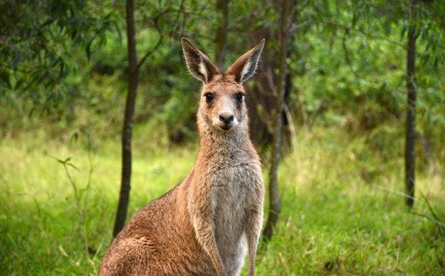 Voir des kangourous et des animaux dans le Victoria