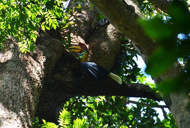 Le calao dans son nid