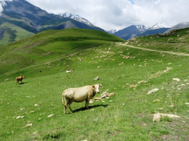 A cow in Azerbaijan's mountains in Xinaliq, Khinaliq, Khinalug