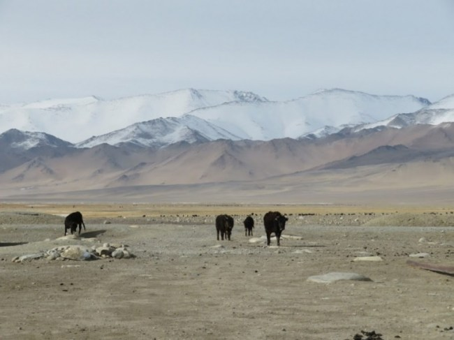 Yaks in Karakul on the Pamir highway Tajikistan