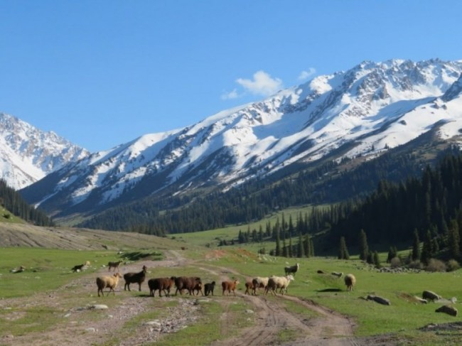 Sheep in Jyrgalan Kyrgyzstan