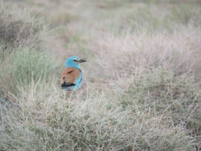 Blue bee eater in Altyn Emel National park