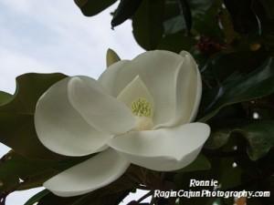 Magnolia flower Louisiana