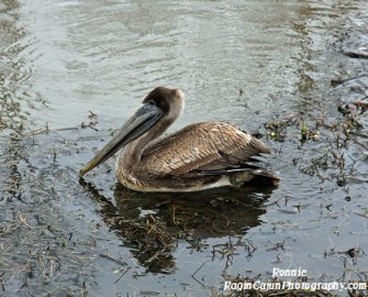 Louisiana brown pelican swimming in a lake