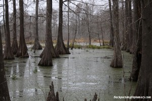 Cyprus trees at lake martin Louisiana.