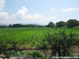 Italian corn fields