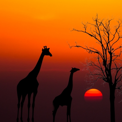 Silhouettes Of Giraffes And Dead Tree Against Sunset Background by satit_srihin on Freedigitalphotos.net