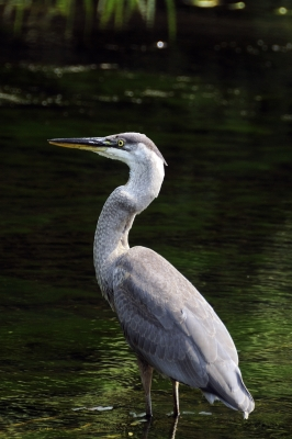 """Great Blue Heron"" by Arvind Balaraman. Courtesy of FreeDigitalPhotos.net"
