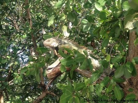 An iguana in Puerto Rico