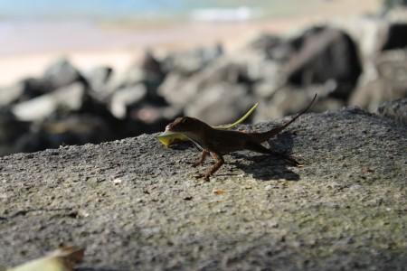Puerto Rican lizard