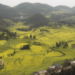 Backpacking in Yunnan Province: Luoping Yellow Canola Fields, China