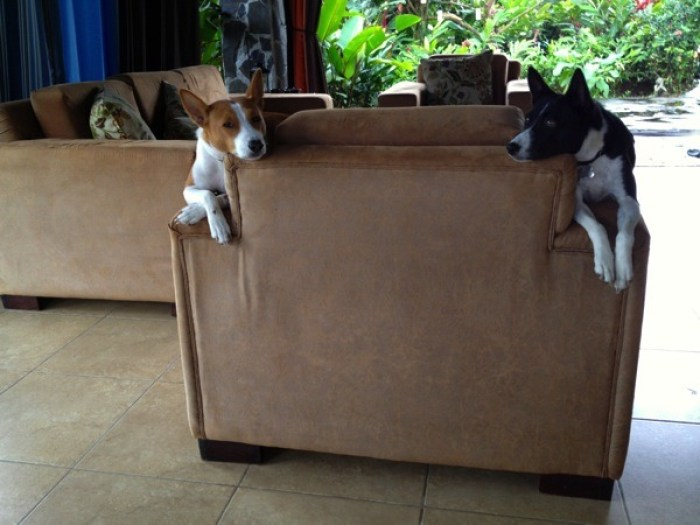 Matti and Moto Basenjis at Villa Hermosa La Fortuna Costa Rica - Villa Hermosa: Your Home Away from Home in Costa Rica