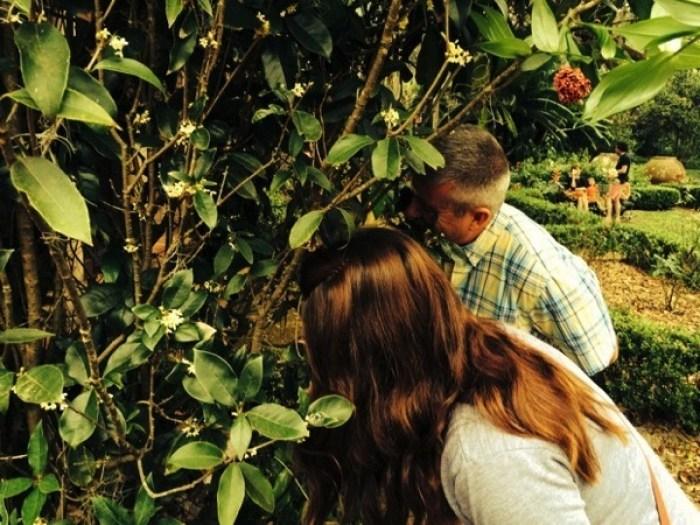 Bok Tower Gardens Tea Olive - Bok Tower Gardens: America's Taj Mahal
