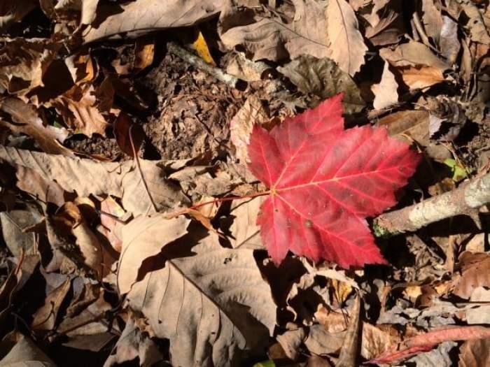 Scarlet Autumn Maple Leaf