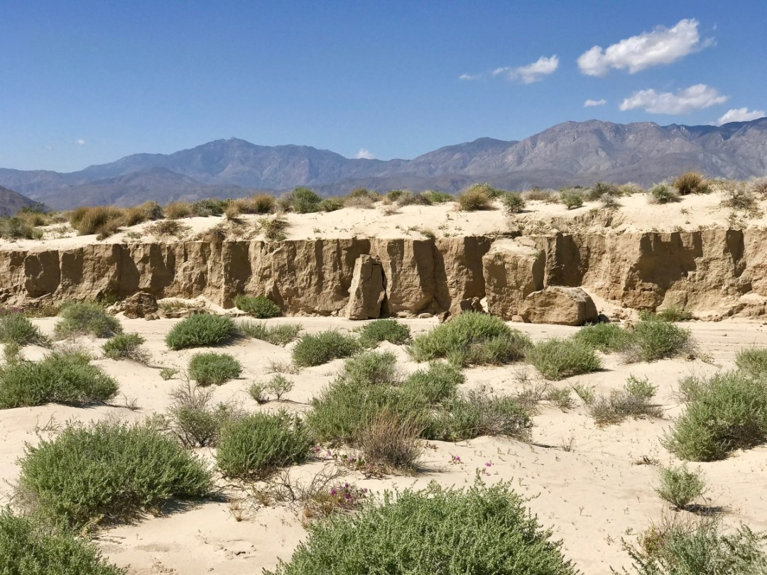 IMG 2292 - Wildflower Chasing at Anza-Borrego Desert State Park California