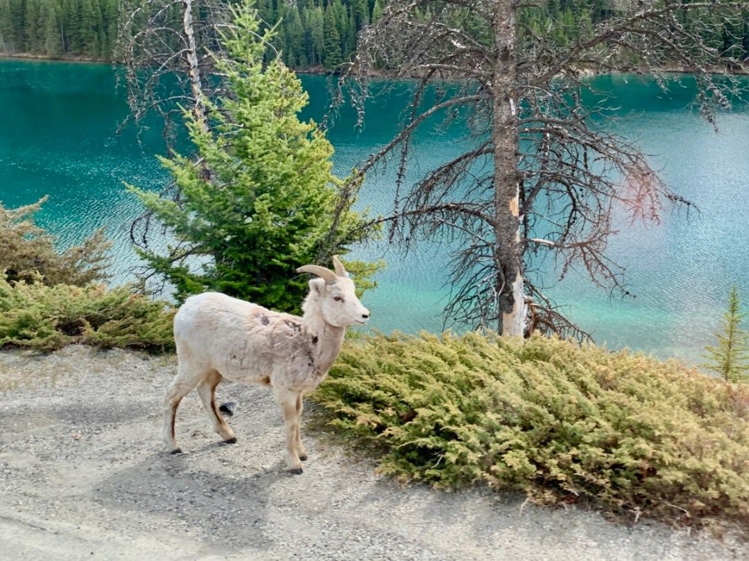 Bighorn Sheep Banff NP - The Best Sites & Activities for a Town of Banff Adventure