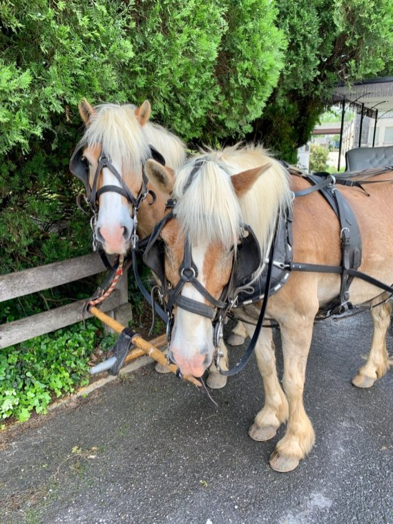 Woody and Weepy Lexington Carriage Horses