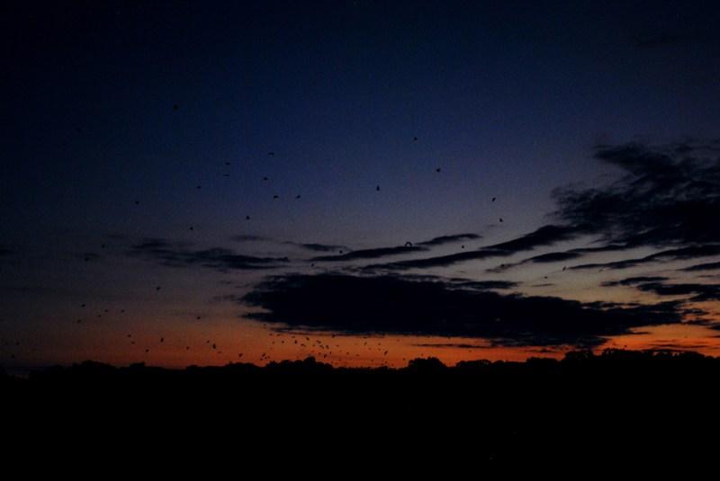 Fruit bats flying overhead at dusk in Komodo National Park