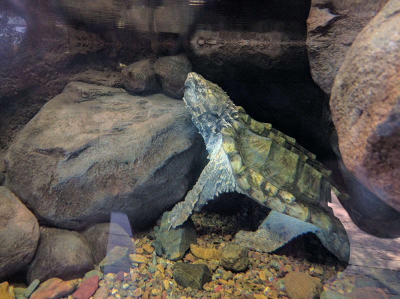 Some sort of lizard turtle at the Australia Zoo
