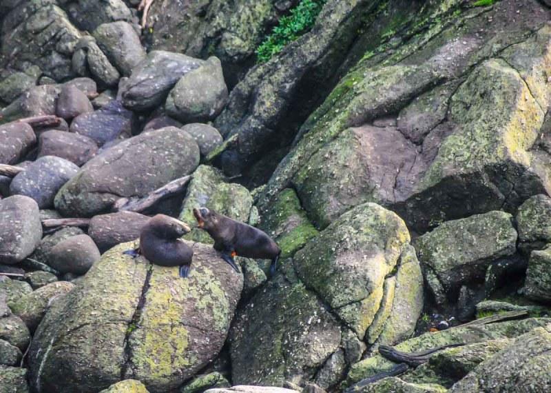 Seal Colony Tauranga Bay near Westport New Zealand