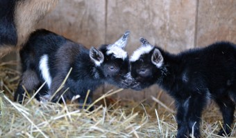 Baby Goats: Johnny and June