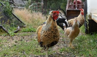 Icelandic Chickens: The Perfect Homesteader's Chicken
