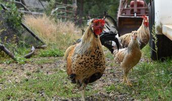 Icelandic Chickens: The Perfect Homesteader's Chicken