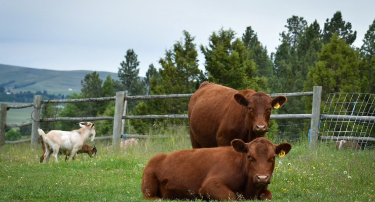 Red Angus Moderator Steer