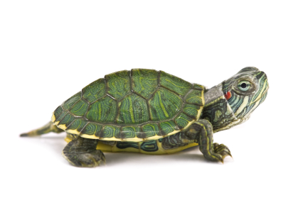 Turtle Pictures