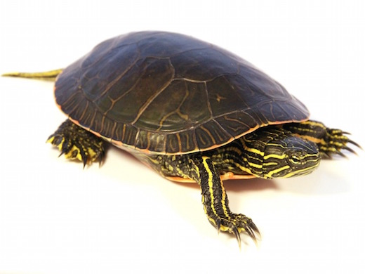 https://i2.wp.com/www.backwaterreptiles.com/images/turtles/western-painted-turtle-for-sale.jpg