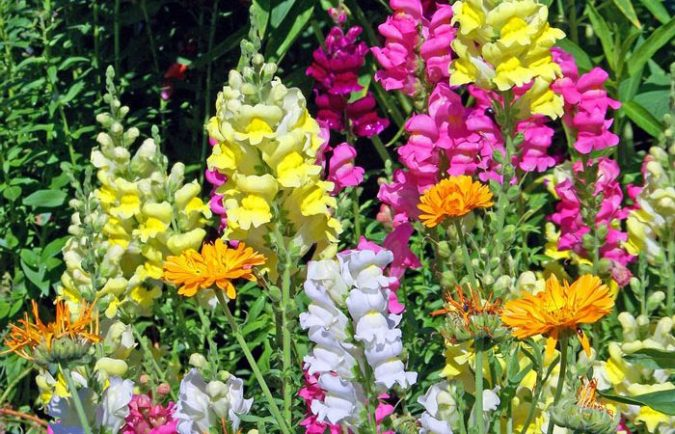 How to grow Snapdragon flowers  Annual Flower Information   Antirrhinum