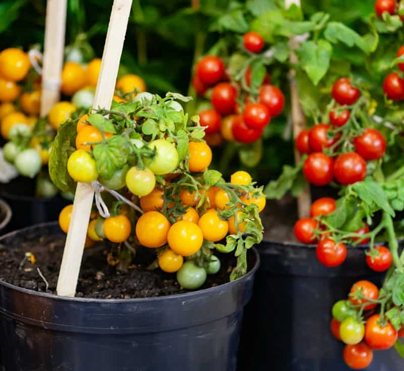5 Easy Vegetables To Grow In Pots Great For Small Spaces