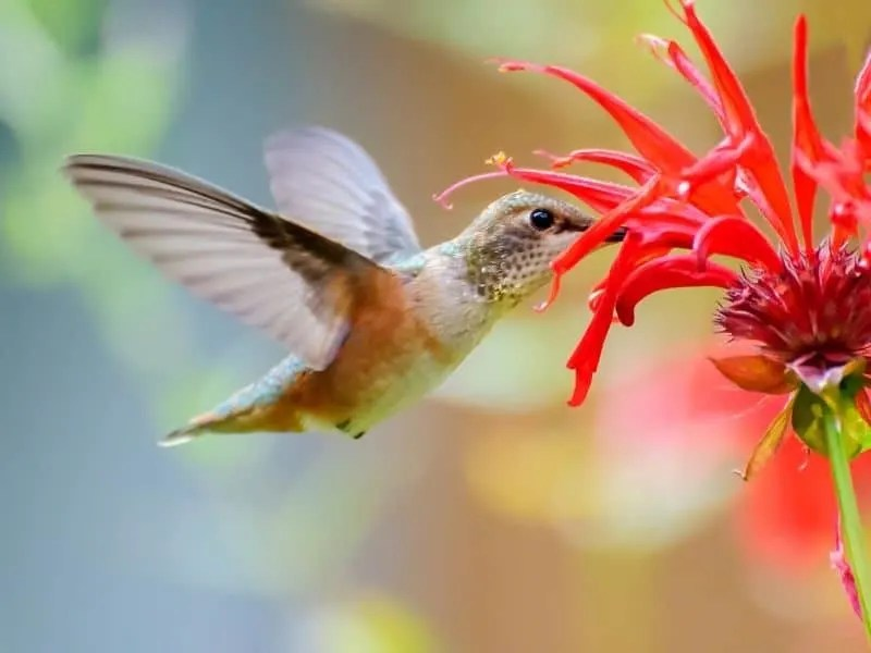 10 Red Flowers That Attract Hummingbirds