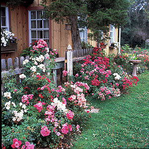 rose, border planting, border garden, rose garden, wildlife friendly garden, wildlife garden, butterfly garden