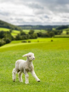 Composite of a lamb and landscape