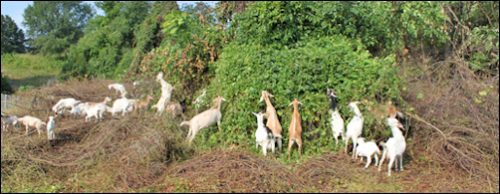 Goats at work. Photo credit: Goat Busters