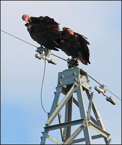Buzzards on a power line -- no telling what might case an outage.