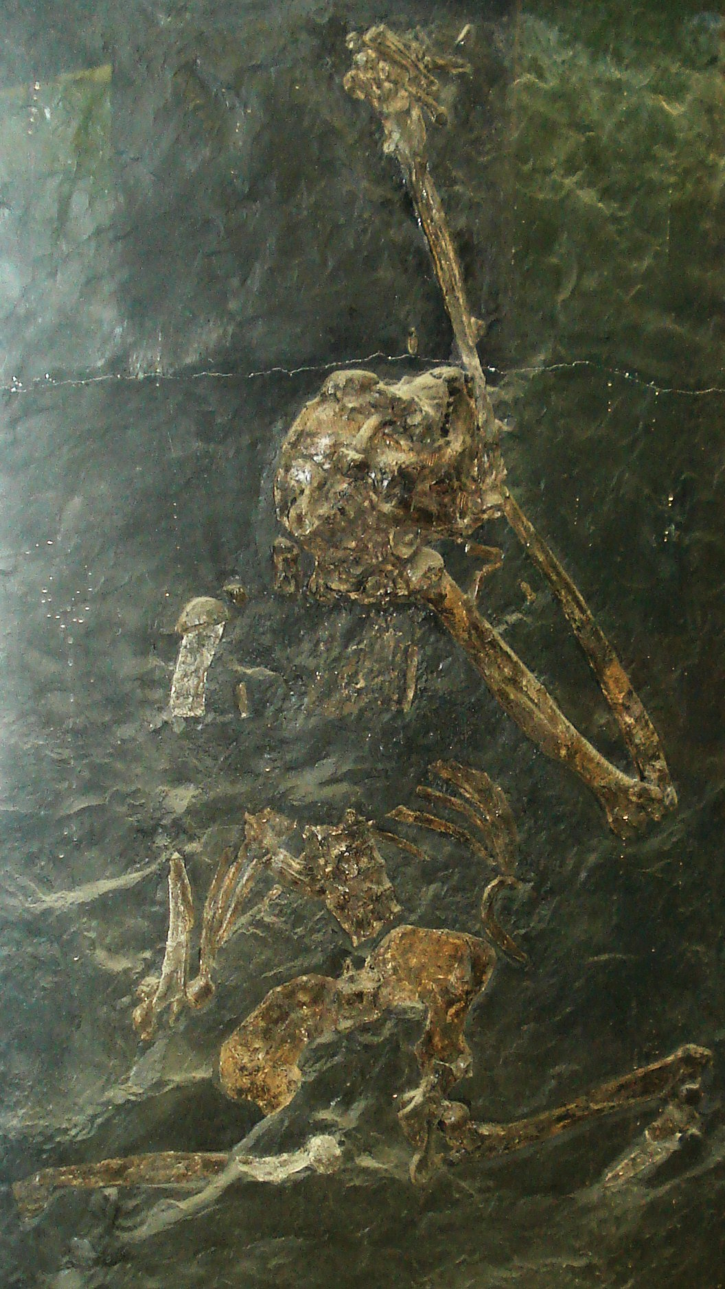 Oreopithecus bambolii skeleton