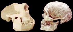 Skulls of Homo erectus (left) and Homo sapiens (right) compared. Creationists want to see both as 'fully human'