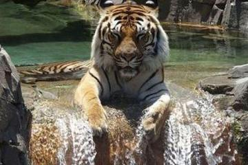 tiger relax in water