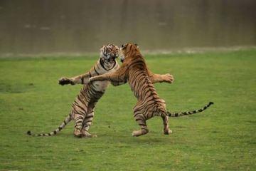 tiger fight randomness daily