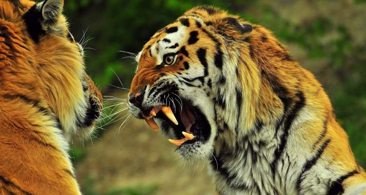 Ultra Rare Fight for Survival between Sloth Bear vs Bengal Tiger 1