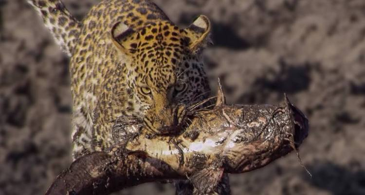 Leopards learn how to Catch Catfish 1