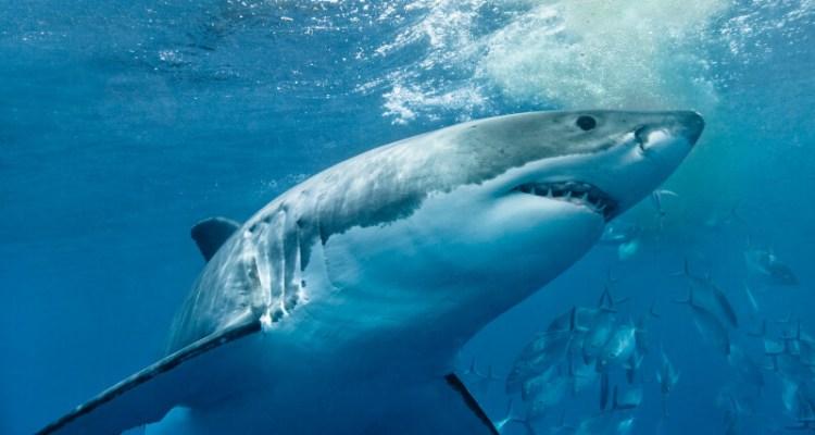 Great White Shark Stalks Kayakers 1