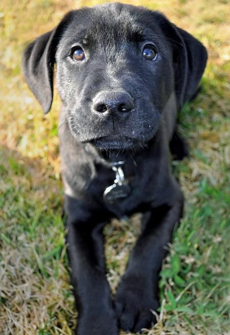 black lab mix