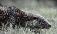 Stalking otter By Richie